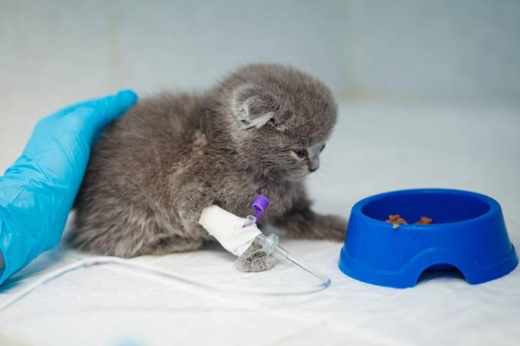trasfusioni al gattino