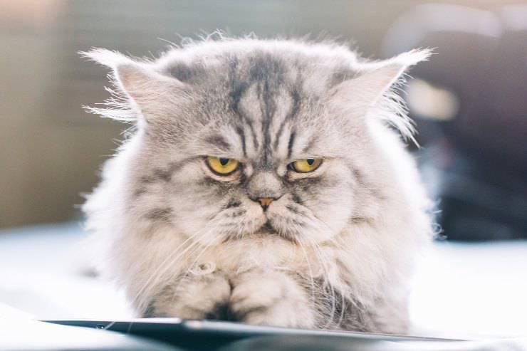 gatto nervoso