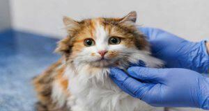 La palatoschisi nel gatto