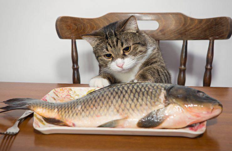 gatto pesce