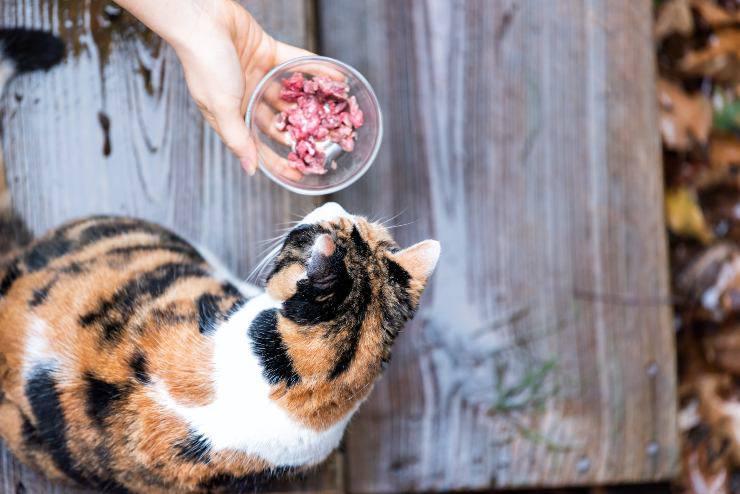 gatto mangia trippa