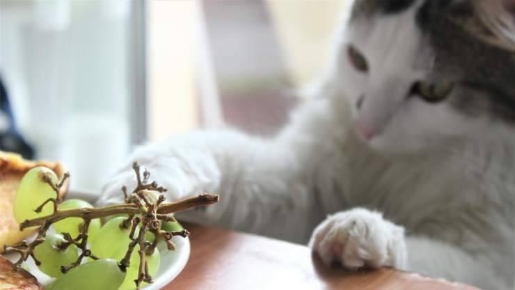 gatto mangiare uva