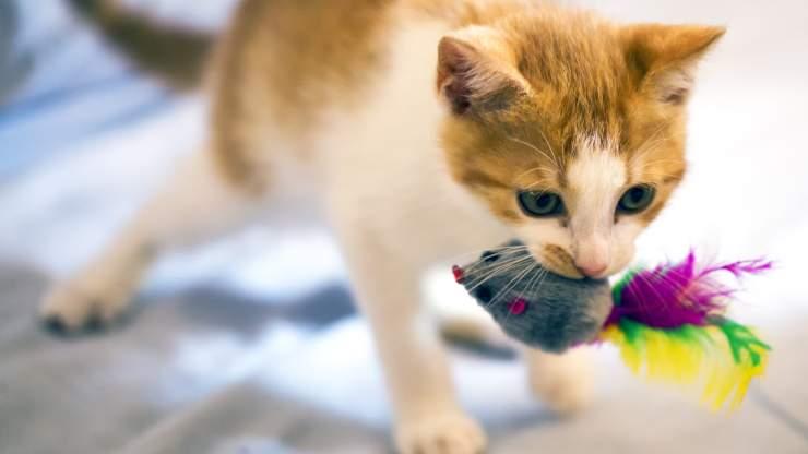 gatto miagola con giocattolo in bocca