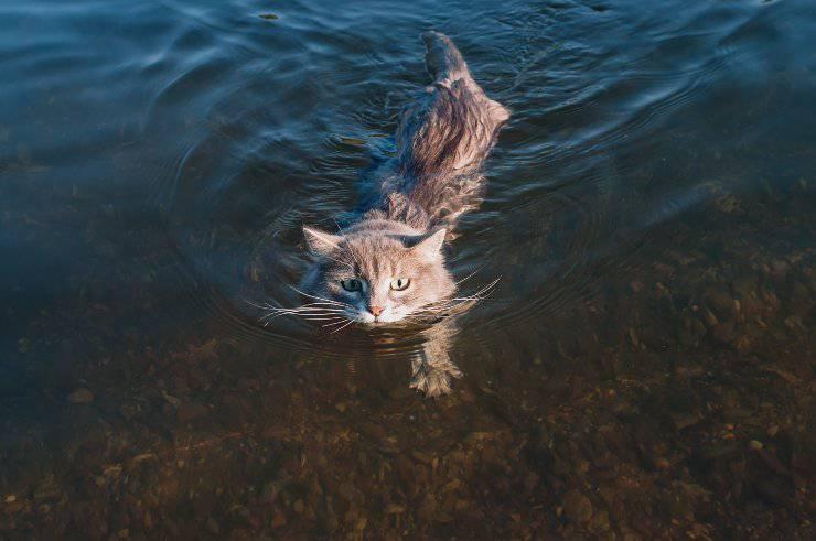 razze di gatti a cui piace nuotare