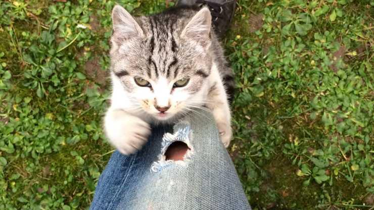 gatto si arrampica sulle gambe