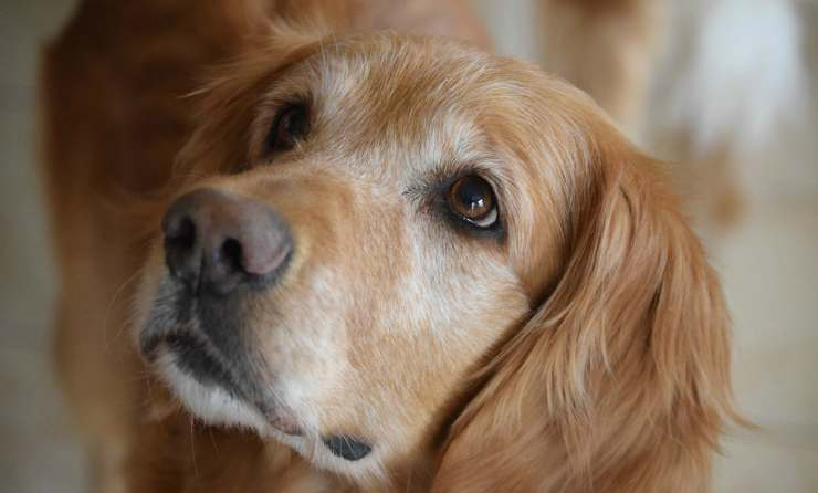 Lo sguardo del Golden retriever