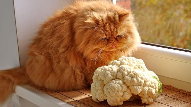 il gatto può mangiare il cavolfiore
