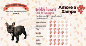 infografica cane bulldog francese bouledogue
