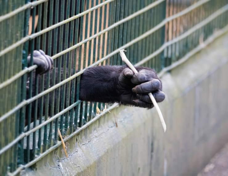 cantante cher protesta gorilla prigioniero
