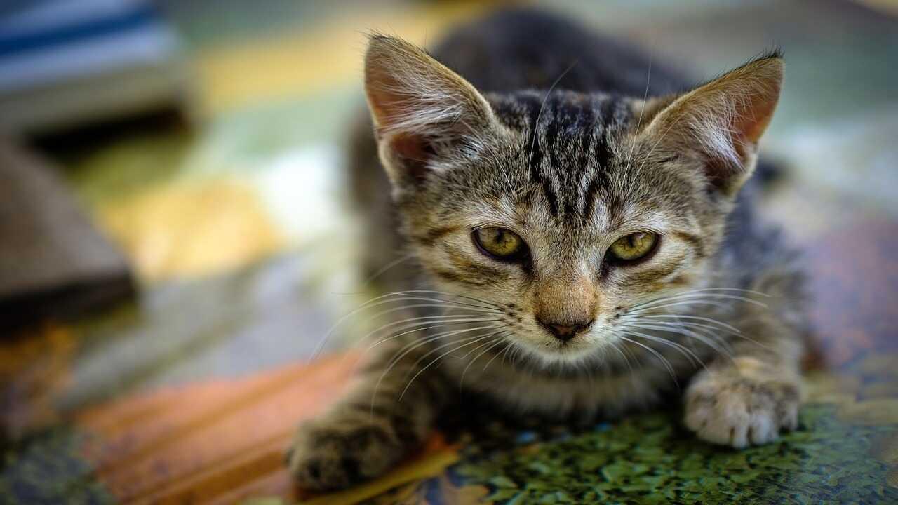 carcinoma pancreas gatto