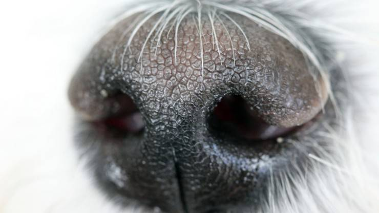 olfatto cane naso senso odori feromoni