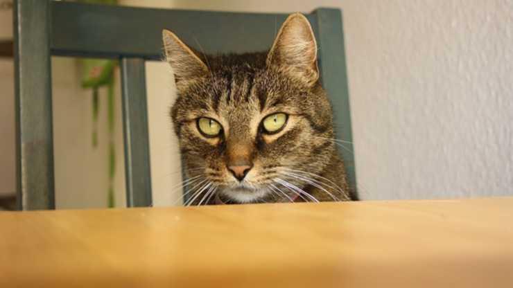 muffin al salmone per gatti