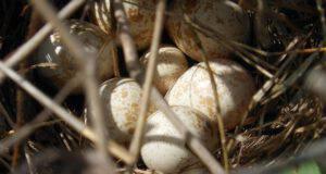 uova uccello selvatico nido