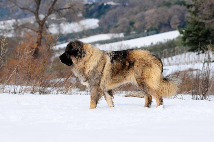 cane pastore del caucaso