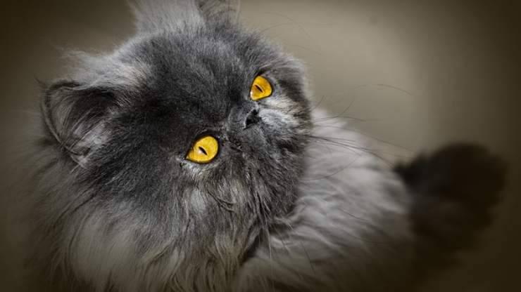 persiano grigio