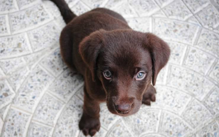 cucciolo di labrador (Foto pixabay)