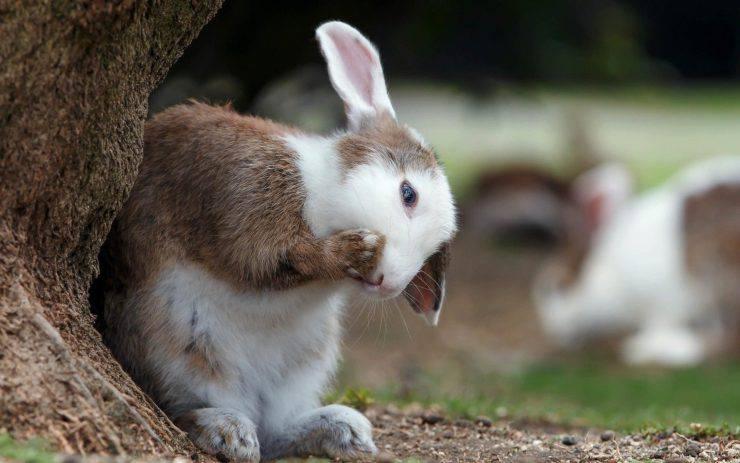 Il coniglio si gratta sempre
