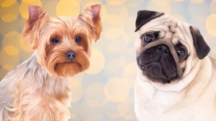 razze di cani che restano piccoli