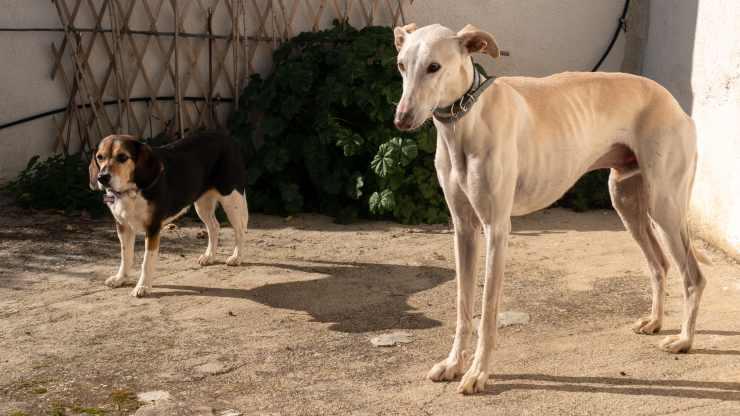 razze di cani compatibili con il beagle