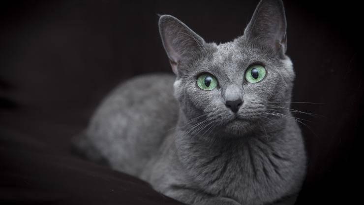 razze di gatti con gli occhi verdi