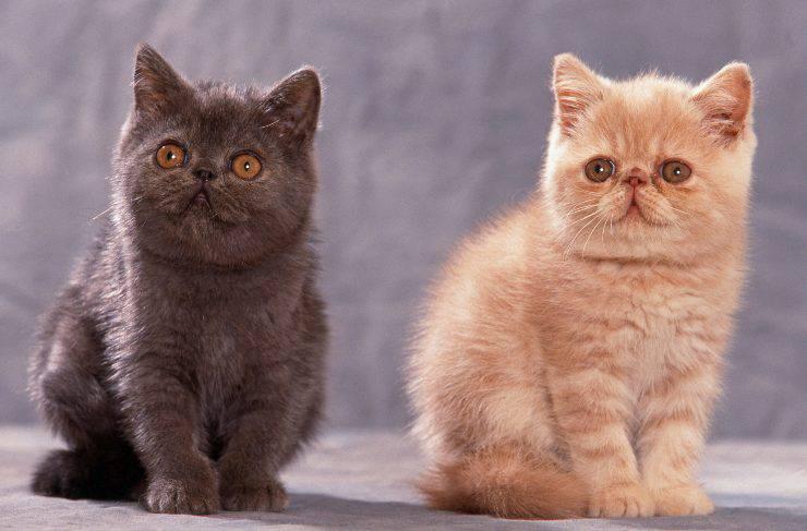 razze di gatti con occhi tondi