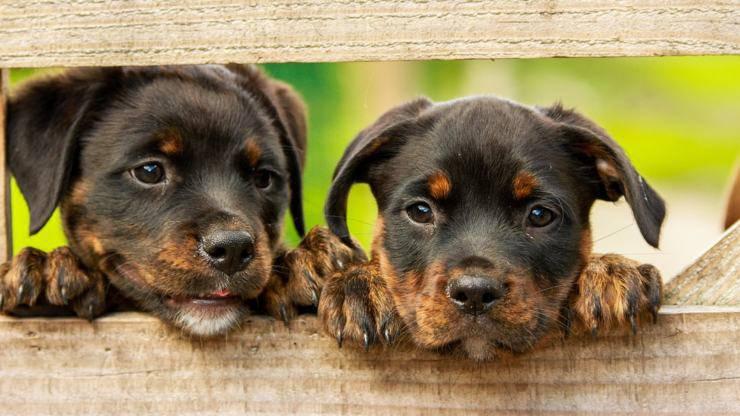 rottweiler cane razze compatibili