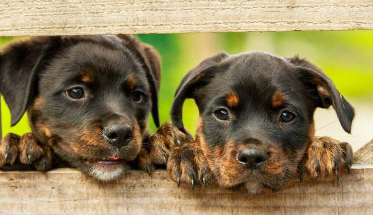 Cuccioli di rottweiller (Foto pixabay)