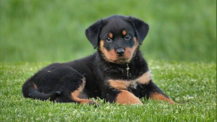 rottweiler cane cucciolo curiosità
