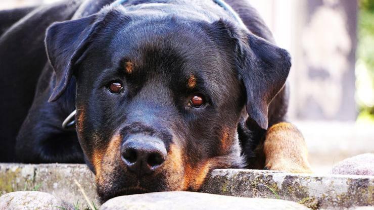 rottweiler cane malattie comuni predisposizioni salute