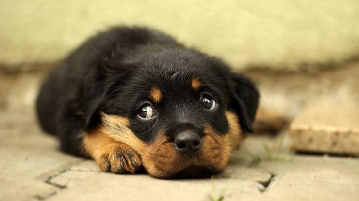rottweiler cane cucciolo