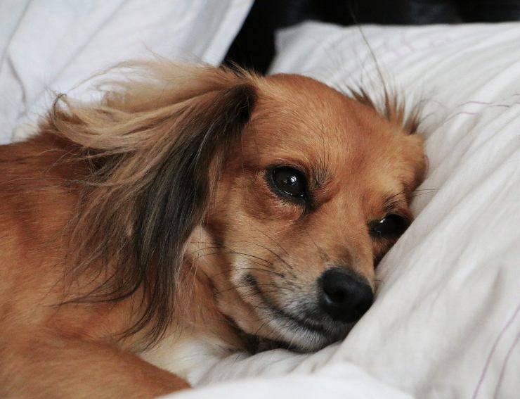 Cane da solo sul cuscino