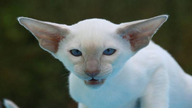 I gatti alpha