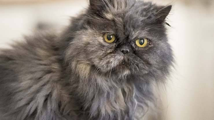 sindrome di chediak-higashi nel gatto