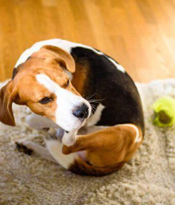 sintomi allergia alimentare nel cane