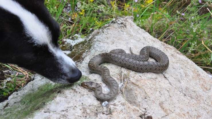 cane morso da serpente