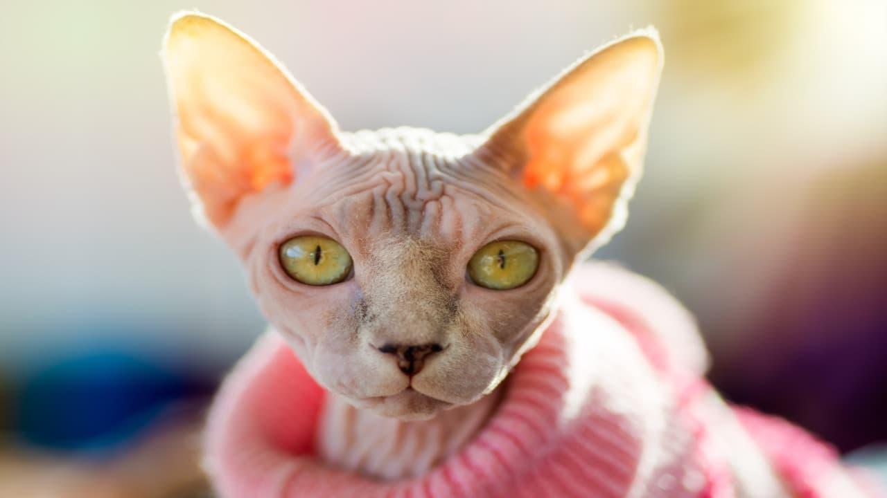 Cappottini per gatti senza pelo