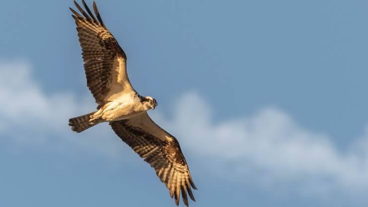 uccelli più veloci