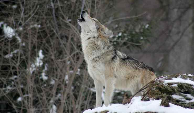 L'ululato del lupo (foto Pixabay)
