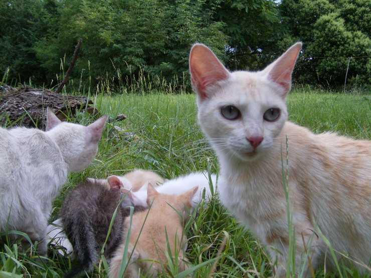 razze gatti francesi