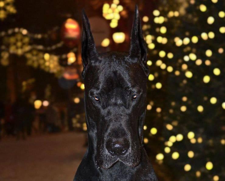 Enzo il dobermann, ecco il cane che somiglia a Batman