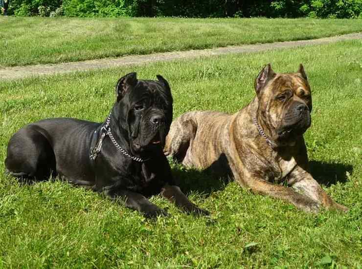 cane corso adottare padrone ideale