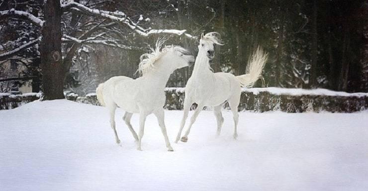 cavalli neve