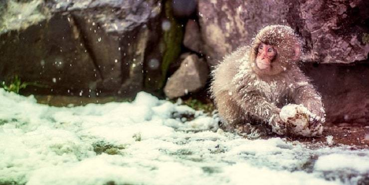 scimmia neve