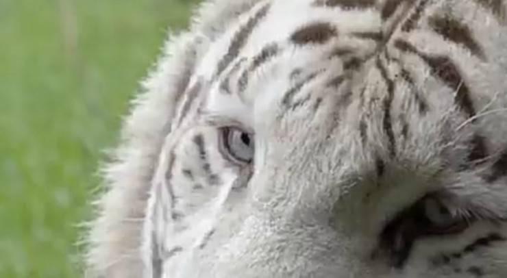 Tigre bianca (Foto Pixabay)