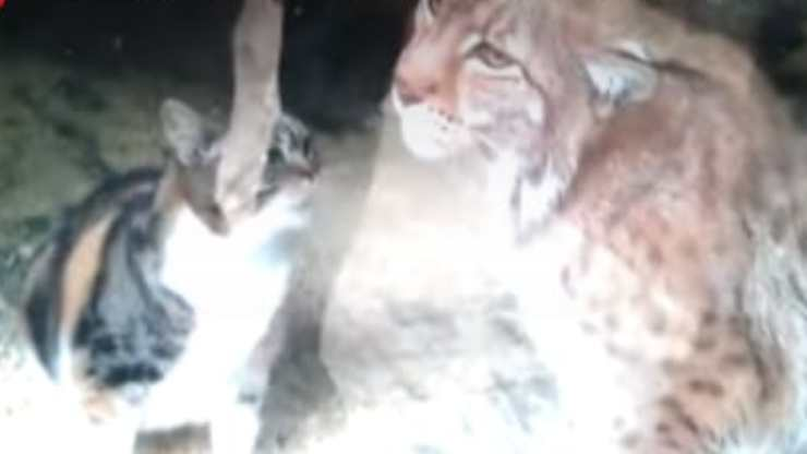 La lince e la gattina (Foto video)