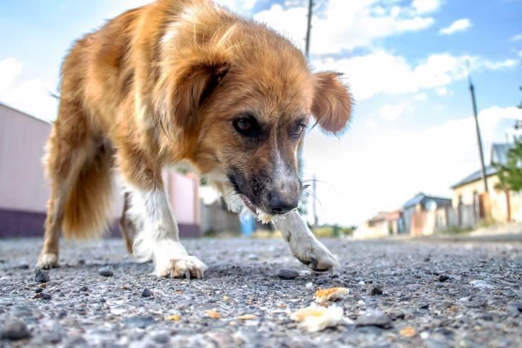 Cosa mangiano i cani in natura