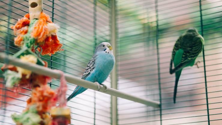 Uccelli da tenere in casa