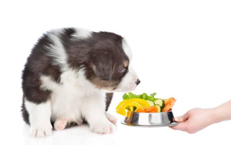 Alimentazione del Pastore australiano: dieta Barf