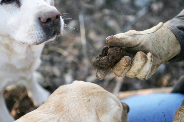 Olfatto dei cani da tartufo
