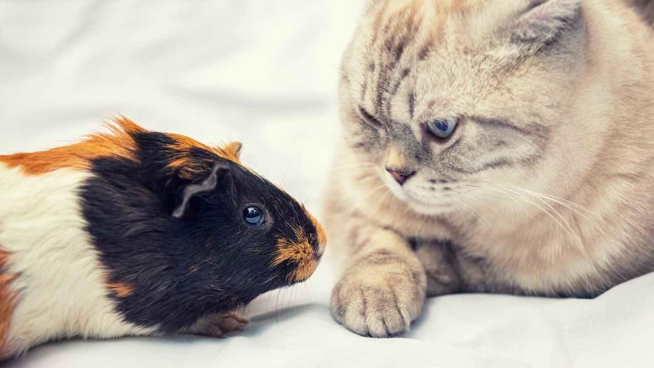 Gatto e porcellino d'India possono vivere insieme?